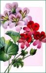 42096524_bsPierreJosephRedouteGeraniumVariete