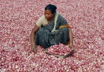 An employee of a wholesale vegetable market in Siliguri is engaged in sorting onions, eastern India