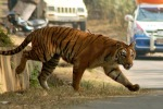 Tiger is the zoo of the city of Guwahati in Assam with the sticking out of it with a tranquilizer dart back, India, January 30, 2010 Two adult tigers escaped from his body, causing panicLater, the tigers were caug