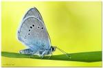 _polyommatus_bellargus_...