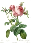 Redoute_-_Rosa_centifolia_foliacea