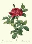 Redoute_-_Rosa_gallica_pontiana