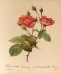 Rosa_Centifolia_Anemonoides_001