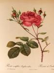 Rosa_centifolia_Anglica_rubra_001