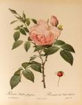 Rosa_indica_fragrans_001