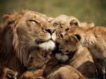 amily of the Lion, Kenya. (Brandon Harris)