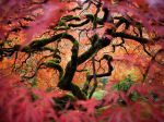 Japanese maple, Oregon, USA. (Fred An)