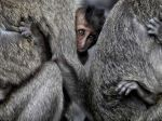 Monkeys, Indonesia. (Suhaimi Abdullah)