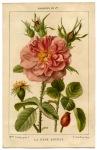 Old-Rose-