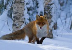 Red fox by Anna-Liisa Pirhonen