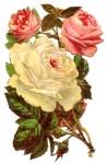 RosesWhitePink-
