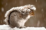 Snowy Squirrel by Ray Yeager