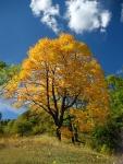 golden-maple