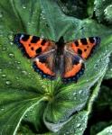 tortoiseshell-butterfly
