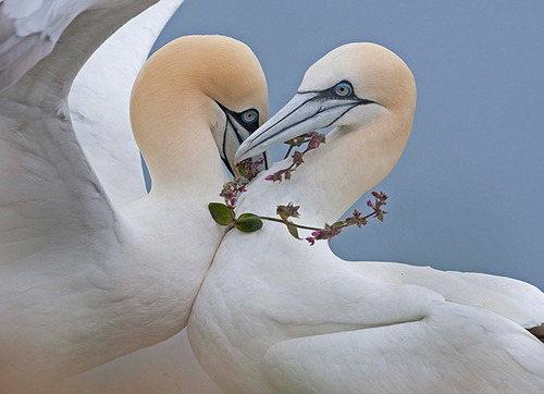 A pair of young gannets