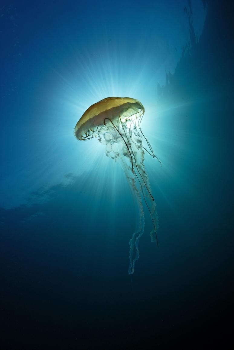 Compas Jellyfish.