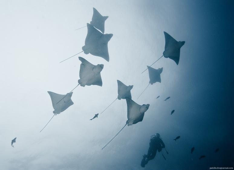 flock of rays