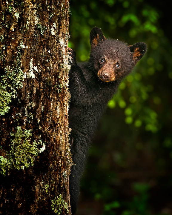 bear-cub-on-a-tree-copy
