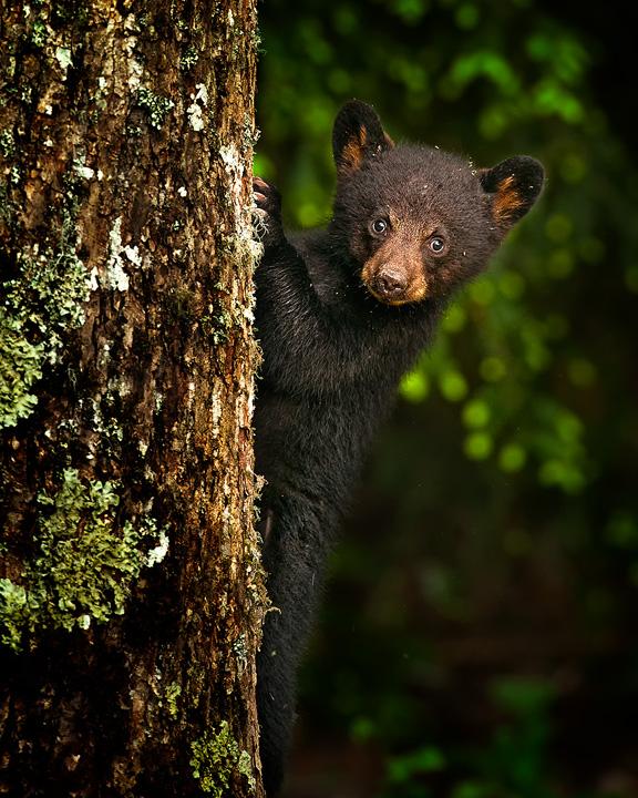 bear-cub-on-a-tree-copy