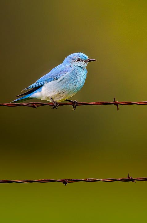 bluebird-copy