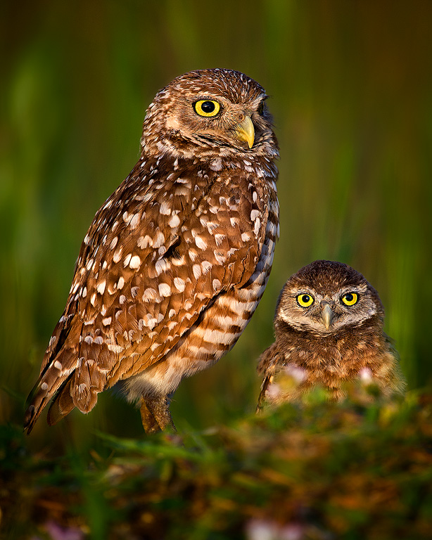 Burrowing-Owls-On-Watch