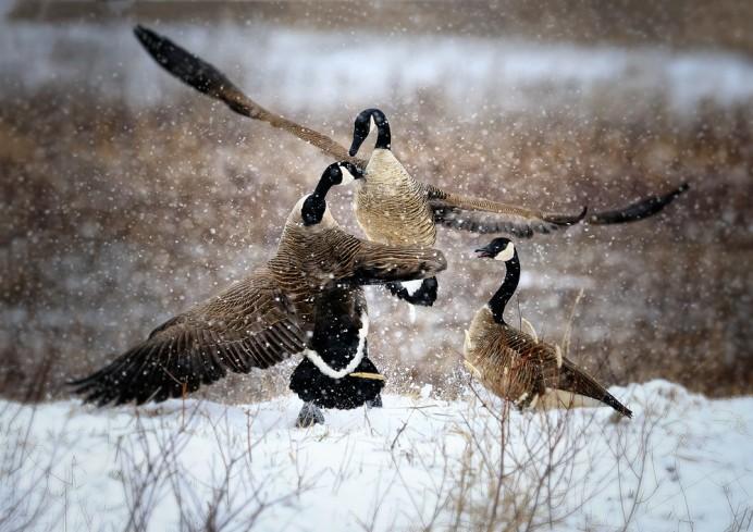 canada-goose-snow-fight-copy-692x489