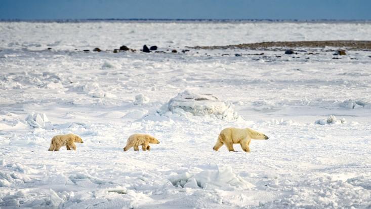 Polar-Bear-On-Ice-With-Cubs-733x412