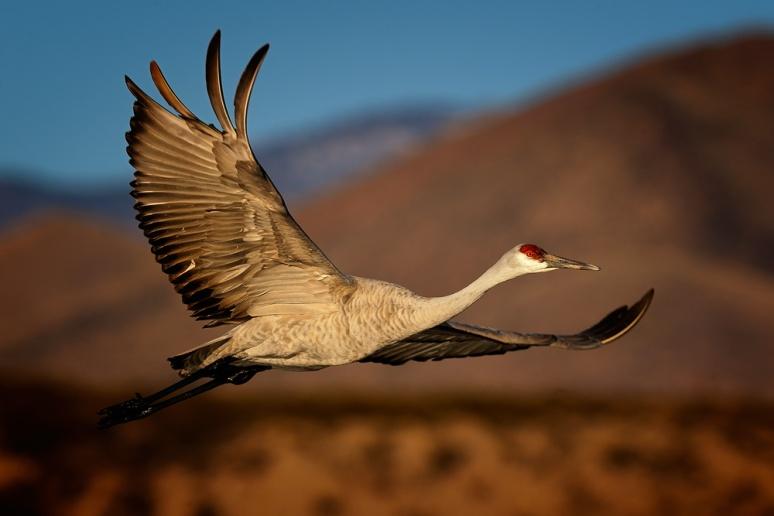 sandhill-in-flight-1