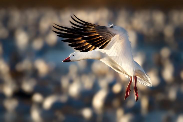snow-goose-airsuspension-733x489