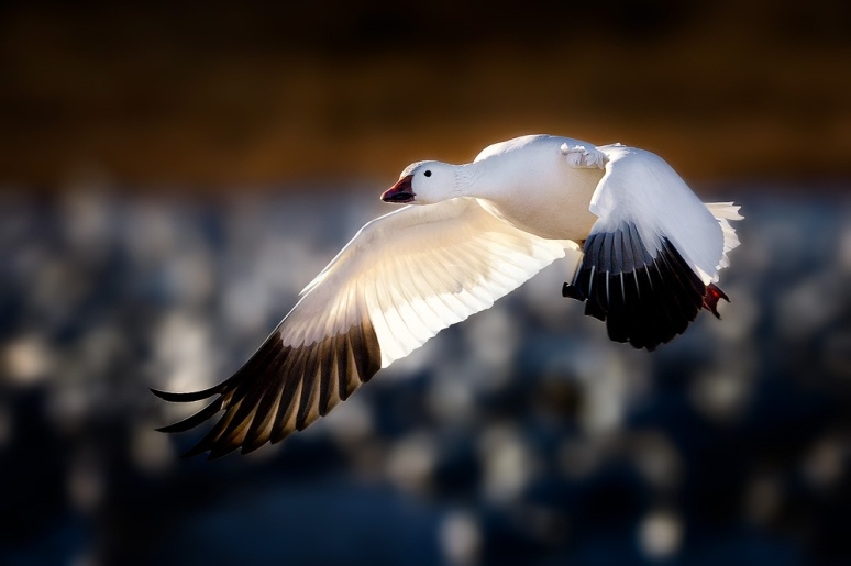 Snow-Goose-Taking-Flight-copy