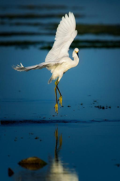 Snowy-Egret-Dance